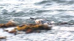 Harlequin Duck Drake Lone Feeding Fall Ocean Surf Waves - stock footage