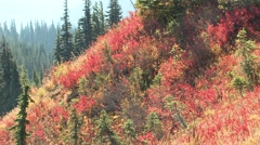 Trees & Shrubs Olympic National Park Fall Fall Foliage Colors - stock footage