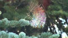 Spider Olympic National Park Fall Spiderweb Backlight - stock footage