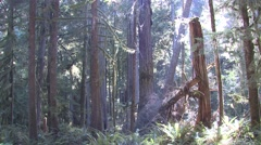 Forest Olympic National Park Fall Rain Forest Pacific Northwest Backlight - stock footage