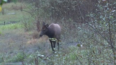 Elk Cow Adult Lone Alarmed Fall Roosevelt Rain Forest Stock Footage