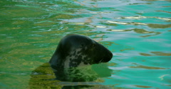 A common seal with its head above the water  fs700 4k Stock Footage