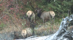 Elk Cow Several Feeding Fall Roosevelt Rain Forest Stock Footage