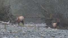 Elk Bull Young Pair Fall Roosevelt Spike Stock Footage