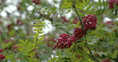 Lots of sorbus fruits on the european rowan tree fs700 4k Stock Footage