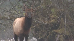 Elk Bull Young Lone Fall Roosevelt Spike Stock Footage