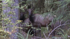 Elk Cow Adult Several Fall Roosevelt Rain Forest Stock Footage