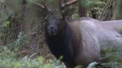 Elk Bull Cow Adult Herd Walking Fall Roosevelt Rain Forest Stock Footage