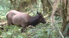 Elk Cow Adult Lone Feeding Fall Roosevelt Rain Forest Stock Footage