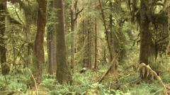 Elk Several Fall Roosevelt Rain Forest Stock Footage