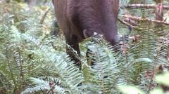 Elk Cow Feeding Fall Roosevelt Rain Forest Tilt Up Stock Footage
