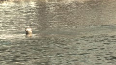River Otter Several Swimming Fall Stock Footage