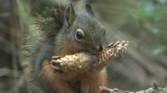 Douglas Squirrel Lone Feeding Fall Zoom Out - stock footage