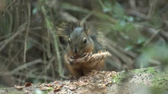 Douglas Squirrel Lone Feeding Fall - stock footage