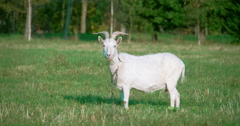 A white domestic goat standing on the farm fs700 4k Stock Footage