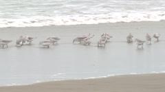 Sanderling Flock Feeding Fall Stock Footage