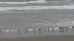 Sanderling Flock Feeding Fall Sand Beach Waves Stock Footage