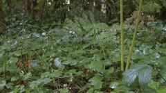 Forest  Fall Rain Forest Forbs Floor - stock footage