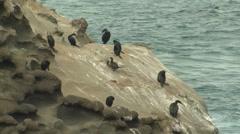Cormorant Fall Ocean Rock - stock footage