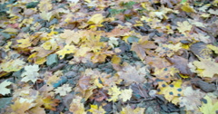 Lots of maple leaves scattered on the floor fs700 4k Stock Footage