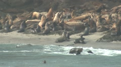 California Sea Lion Adult Young Many Fall Stock Footage