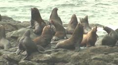 California Sea Lion Many Fall Stock Footage