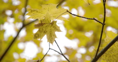 Golden view of the maple leaves on the maple tree fs700 4k Stock Footage