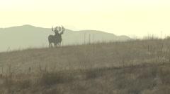 Stock Video Footage of Mule Deer Buck Adult Pair Alarmed Fall Skyline Trophy Backlight