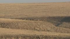 Mule Deer Buck Doe Adult Herd Fall Prairie Grassland - stock footage