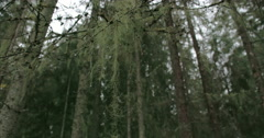 Lots of spruce trees around with beard lichen fs700 4k Stock Footage