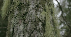 Close up look of the beard lichen attached on the spruce fs700 4k Stock Footage