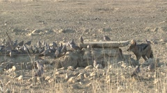 Jackal Lone Hunting Winter Slow Motion - stock footage