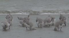Sanderling Flock Feeding Fall Rain Mist Slow Motion Stock Footage
