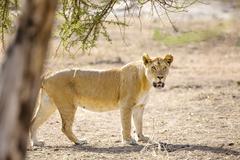 Large lion walks in Serengeti Africaa Kuvituskuvat