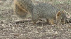 Fox Squirrel Lone Feeding Fall Stock Footage