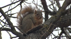 Fox Squirrel Lone Feeding Fall Tree Acorn Stock Footage