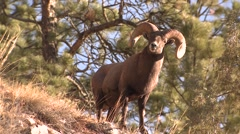Bighorn Sheep Ram Adult Lone Standing Fall Full Curl Trophy Majestic Stock Footage