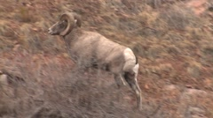 Bighorn Sheep Ram Adult Pair Fighting Fall Collision Audio Sound Head Butt - stock footage