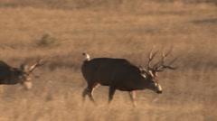 Mule Deer Buck Doe Herd Fall Lip Curl Phlem - stock footage