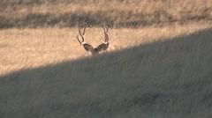 Mule Deer Buck Doe Adult Herd Walking Fall - stock footage