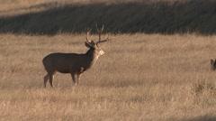 Mule Deer Buck Doe Adult Herd Fall - stock footage