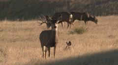 Mule Deer Buck Doe Herd Fall - stock footage