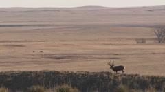 Mule Deer Buck Adult Lone Standing Fall - stock footage
