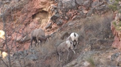 Bighorn Sheep Ram Ewe Adult Several Fighting Fall Head Butt Collision Horns - stock footage