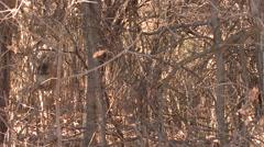 Mule Deer Buck Adult Lone Fall Brush Cover - stock footage