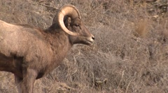 Bighorn Sheep Ram Adult Lone Fall Closeup - stock footage