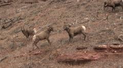 Bighorn Sheep Ewe Several Fighting Fall - stock footage