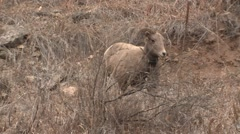 Bighorn Sheep Ewe Lone Standing Fall Radio Collar Transmitter Stock Footage