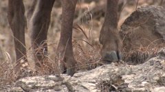 Bighorn Sheep Female Adult Lone Standing Fall Feet Legs Ear Tag Tilt Up Stock Footage