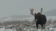 Moose Bull Adult Lone Walking Winter Zoom Out Stock Footage
